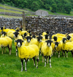 Marketing agency Soul dyed a herd of sheep yellow
